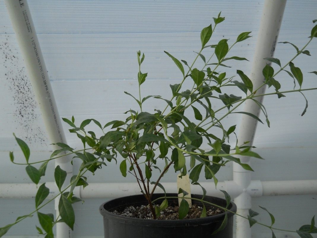 Lawsonia-inermis