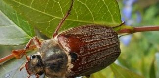 Майский жук, или майский хрущ (Melolontha)