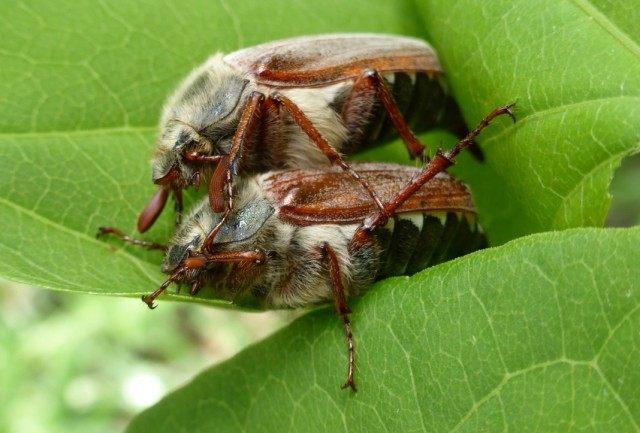 Майские жуки, или майские хрущи (Melolontha)