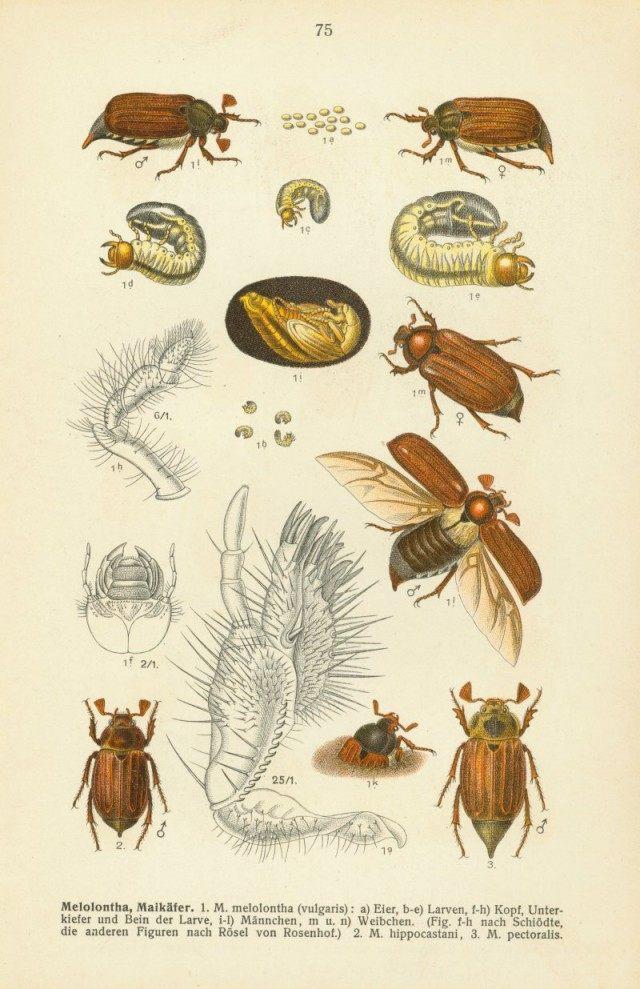 """Цикл развития майского жука. Иллюстрация из II тома энциклопедии """"Фауна Германии"""" Эдмунда Райттера. 1908 год."""