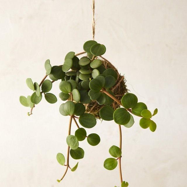 Пеллея круглолистная (Pellaea rotundifolia)