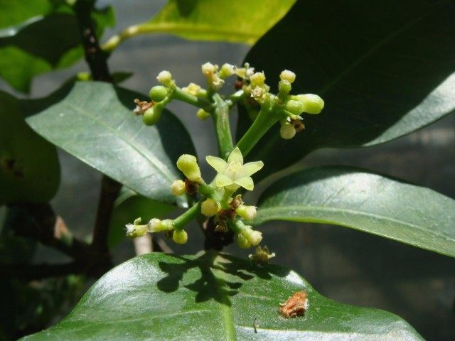 Пизония зонтичная (Pisonia umbellifera)