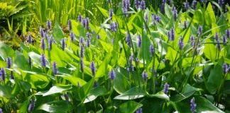 Понтедерия сердцелистная (Pontederia cordata)