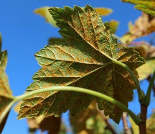 Ржавчина на листьях смородины, вызванная грибком Кронарциум смородиновый (Cronartium ribicola)