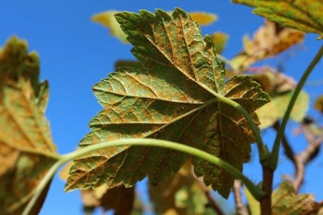 Ржавчина на листьях смородины вызванная грибком Кронарциум смородиновый (Cronartium ribicola)