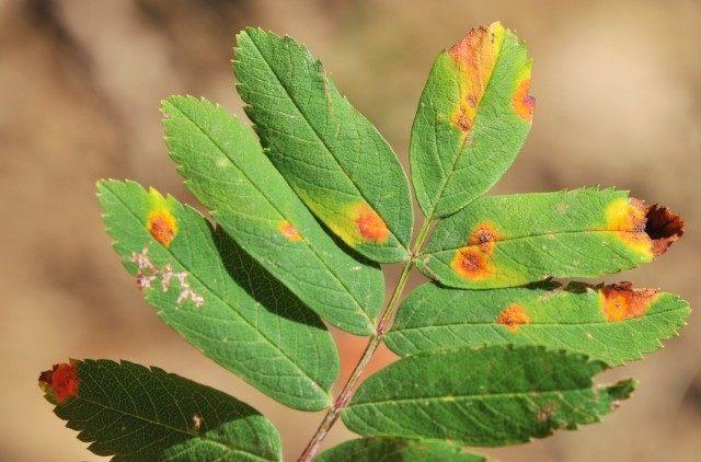 Ржавчинные пятна на листьях