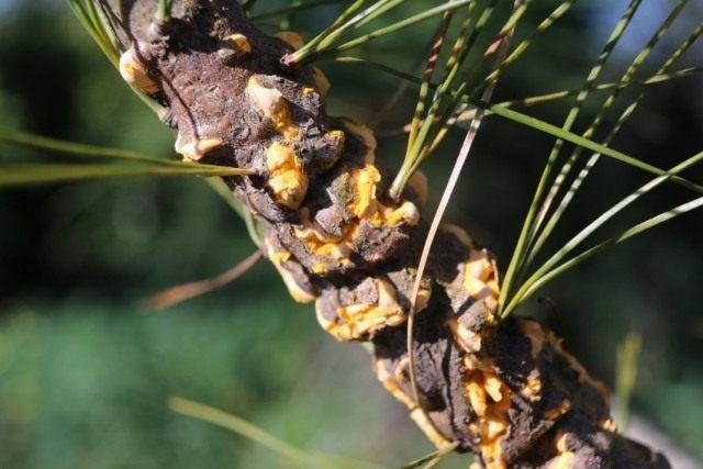 Ржавченный грибок Кронарциум смородиновый на Сосне веймутовой