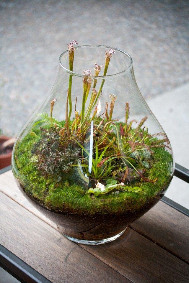 Террариум с растениями хищниками - Сарацениями.