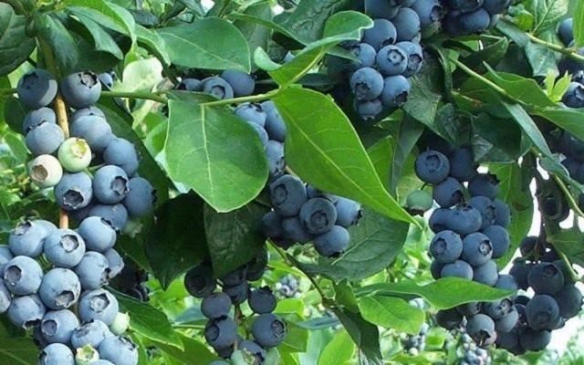Голубика высокорослая, садовая (Vaccinium corymbosum)