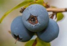 Голубика обыкновенная (Vaccinium uliginosum)