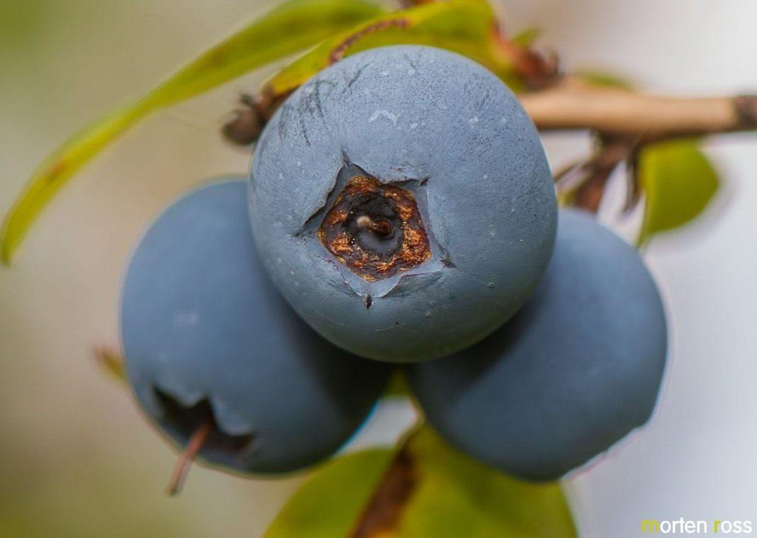 Голубика садовая описание посадка и особенности выращивания