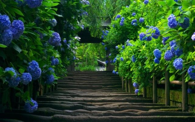 Аллея к дому из синих гортензий