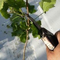 Нарезка черенков смородины для размножения