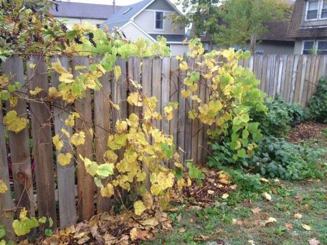 Осенняя подготовка винограда к укрытию