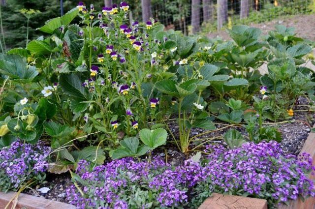 Ароматные цветы алиссума привлекут полезных насекомых