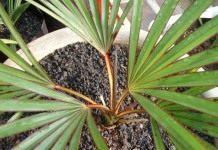 Латания — капризная бархатная пальма