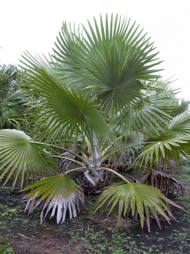 Пальма Латания