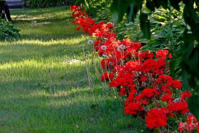Красные садовые герани