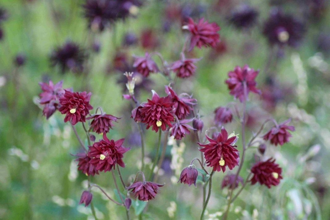 Aquilegia-Ruby-Port-2