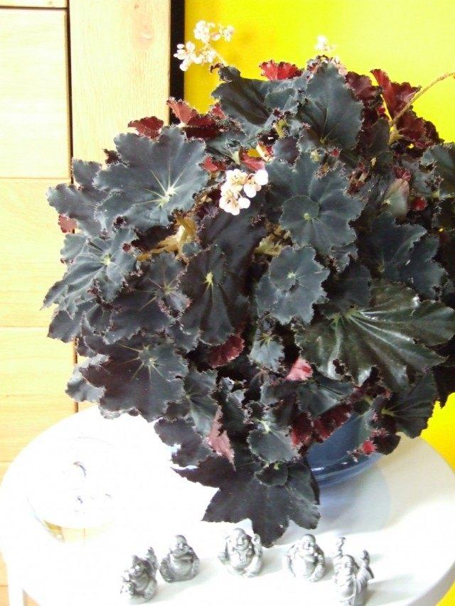 Бегония «Мутные воды» (Begonia 'Muddy Waters')