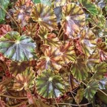 Бегония Бауэра (Begonia bowerae)