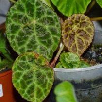Бегония гоэгская (Begonia goegoensis)