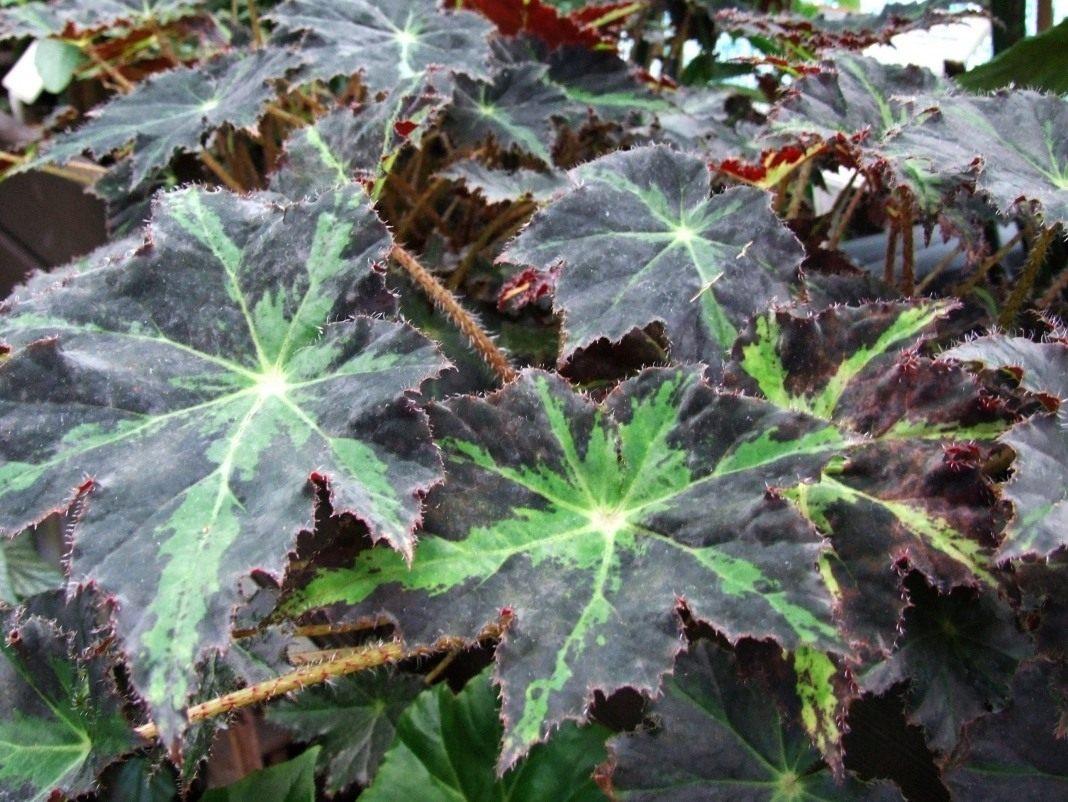 Цветок листья как у клена фото и названия