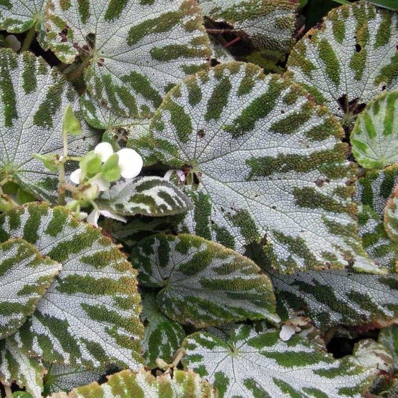 Begonia-imperialis-Silver-Jewel-1