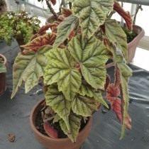 Бегония телесноцветная (Begonia incarnata