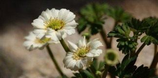 Каллиантемум, также Красивоцвет, или Рутовник (Callianthemum)