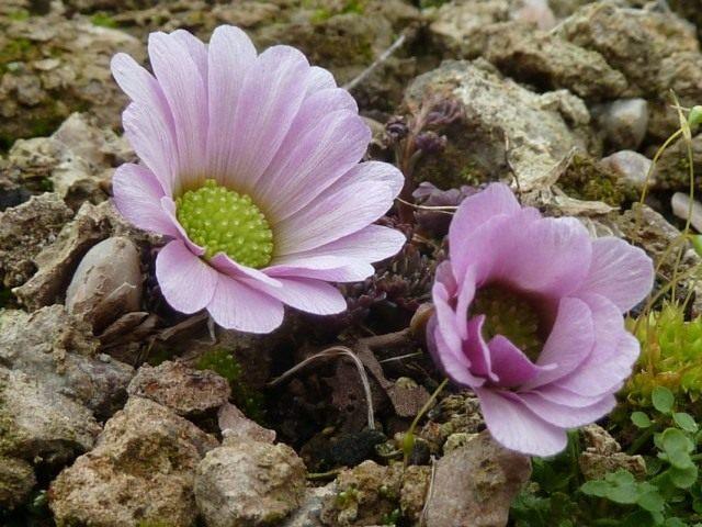 Каллиантемум анемоновидный, или Красивоцвет анемоновидный, или Рутовник анемоновидный (Callianthemum anemonoides)