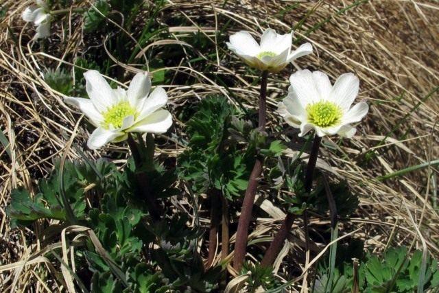Каллиантемум кориандролистный, или Красивоцвет кориандролистный, или Рутовник кориандролистный (Callianthemum coriandrifolium)