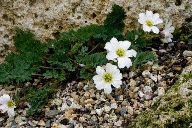 Каллиантемум саянский, или Красивоцвет саянский, или Рутовник саянский (Callianthemum sajanense)