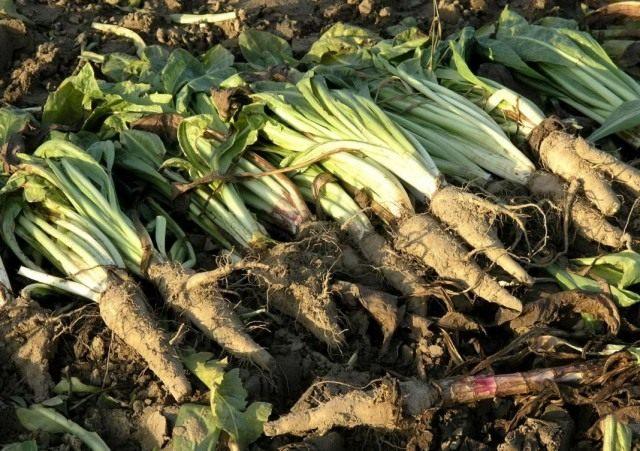 Цикорий обыкновенный (Cichorium intybus)