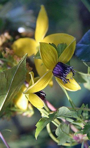 Clematis-tangutica-Golden-Tiara-1