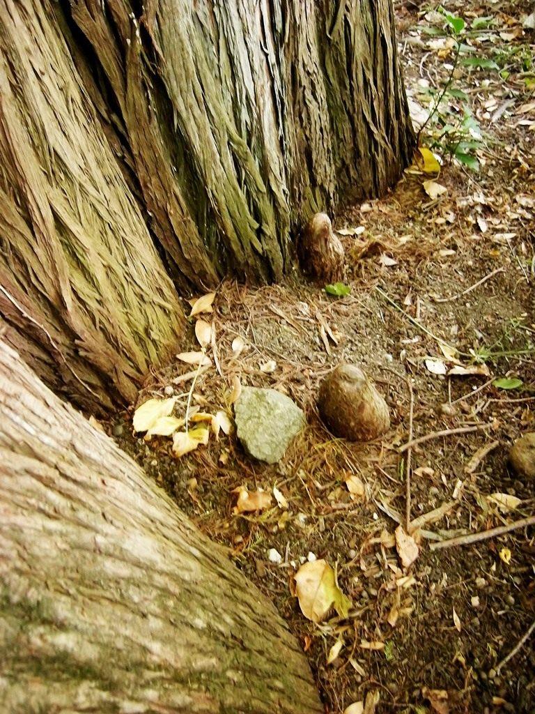 корни, болотный кипарис