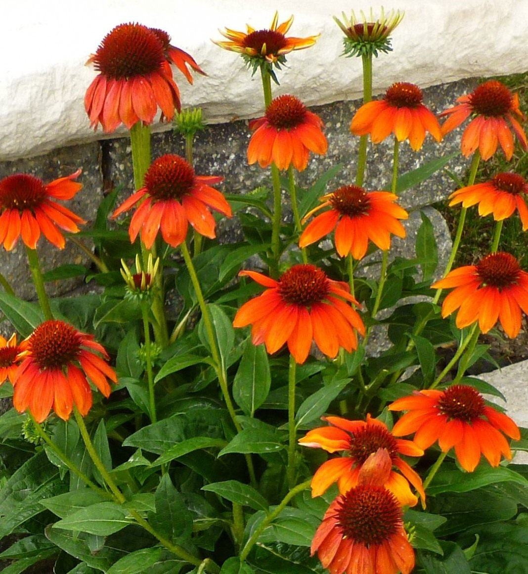 Echinacea-Sombrero-Flamenco-Orange-1