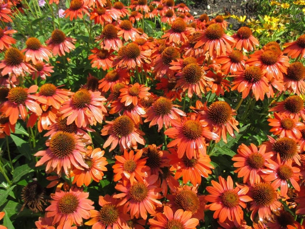Echinacea-Sombrero-Flamenco-Orange-3