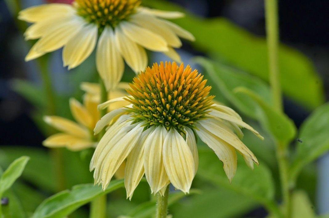 Echinacea-purpurea-Sombrero-Sandy-Yellow-1