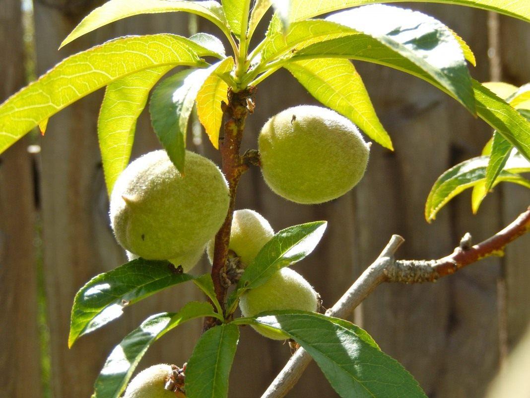 Как ухаживать за персиком