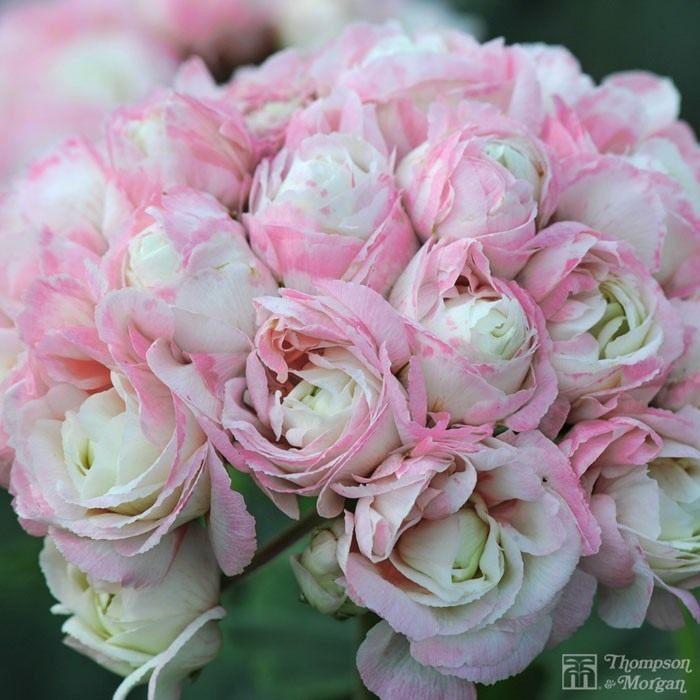 Pelargonium-zonale-Appleblossom-Rosebud-1