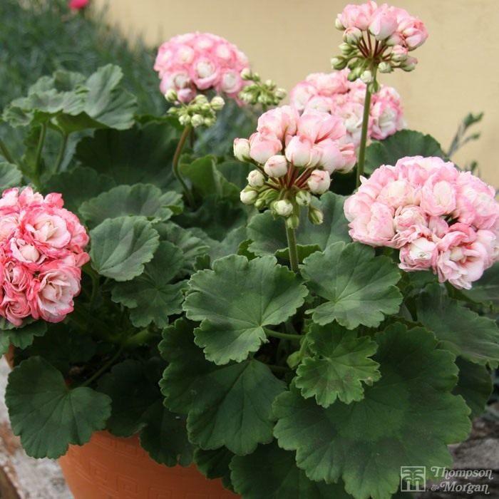 Pelargonium-zonale-Appleblossom-Rosebud-2