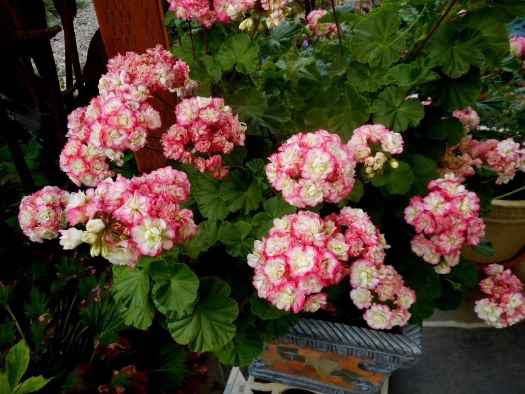 Pelargonium-zonale-Appleblossom-Rosebud-3