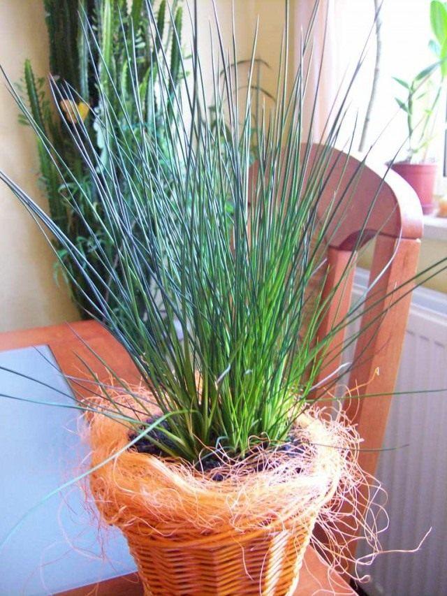"""Ситник развесистый """"Карандашная трава"""" (Juncus effusus 'Pencil Grass')"""