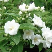 "Чубушник ""Белый букет"" или ""Буке Бланш"" (Philadelphus 'Bouquet Blanche')"