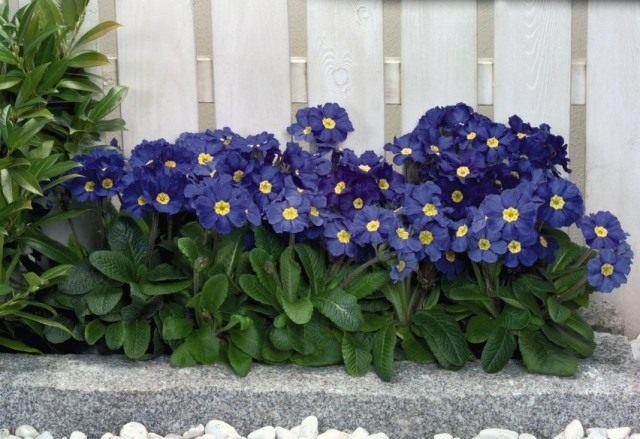 """Первоцвет высокий, или Примула высокая """"Крещендо Блю Шейдз"""" (Primula elatior 'Crescendo Blue Shades')"""