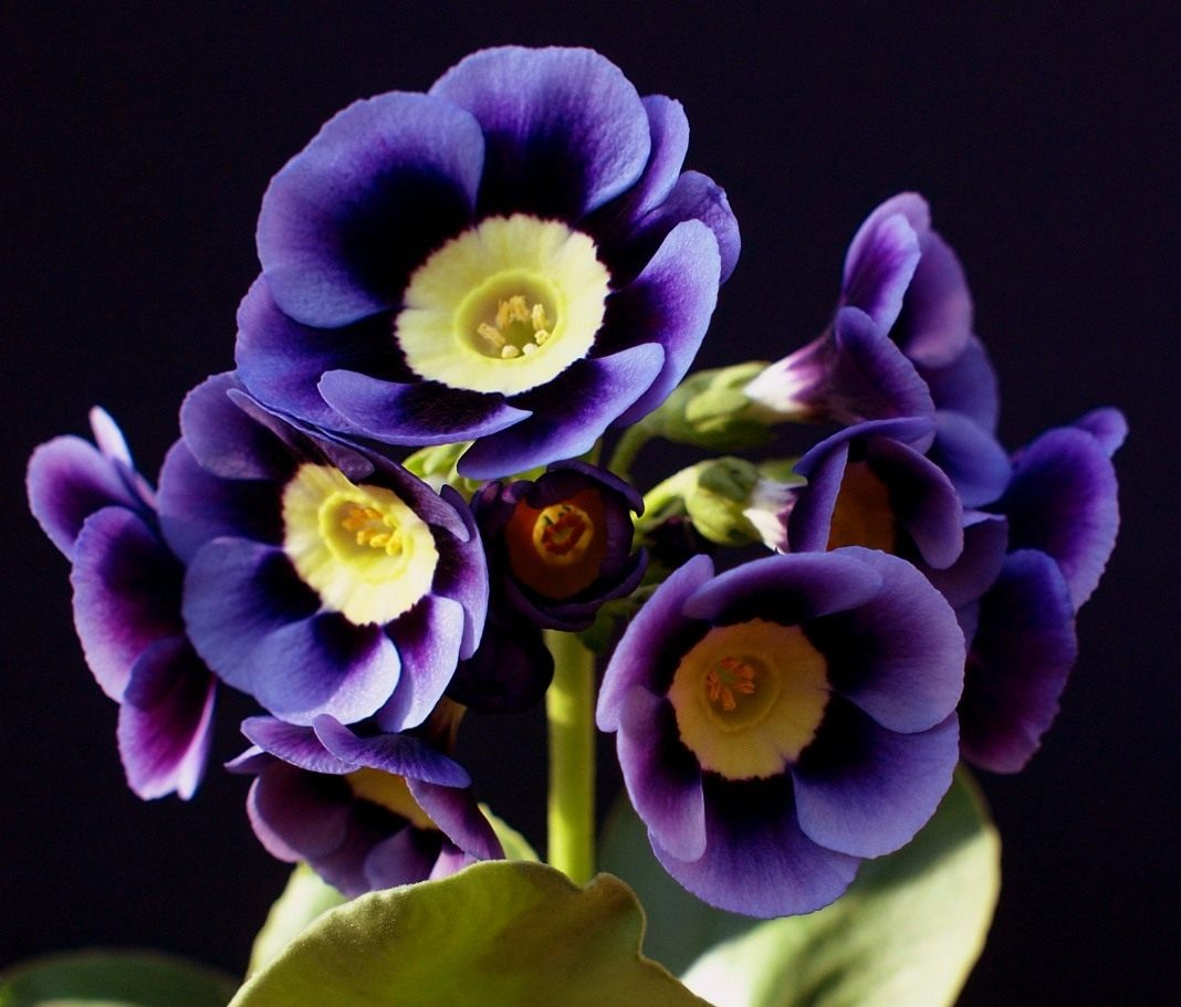 Primula-auricula-Dilly-Dilly-1