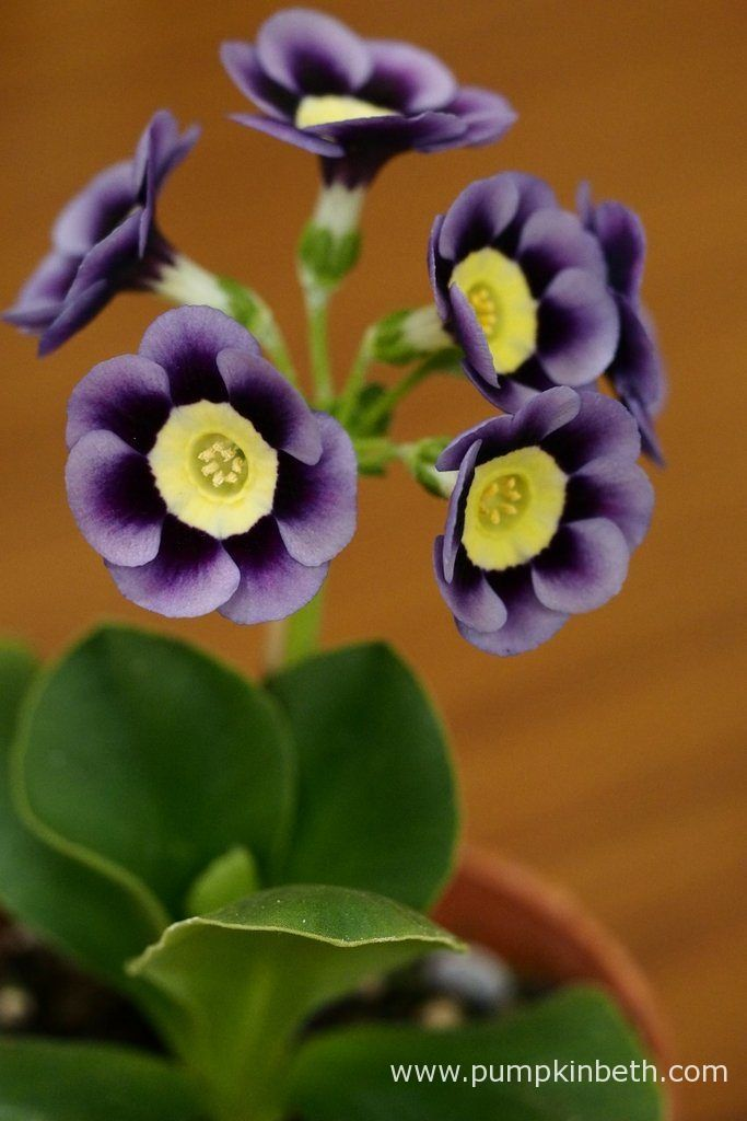 Primula-auricula-Dilly-Dilly-2