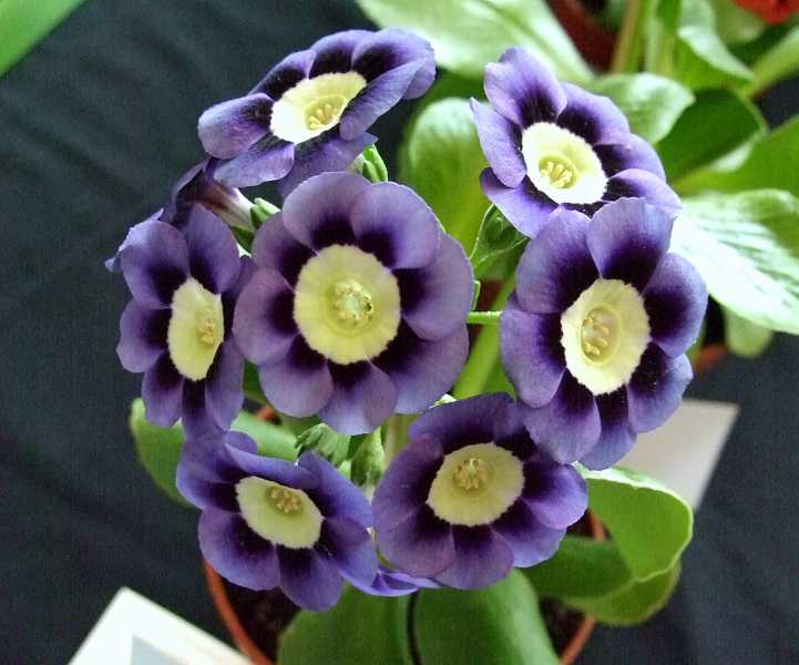 Primula-auricula-Dilly-Dilly-3
