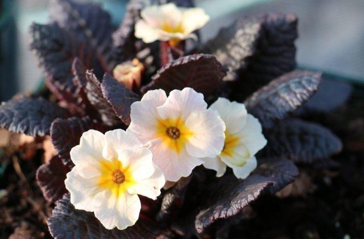 Primula-vulgaris-Dunbeg-1